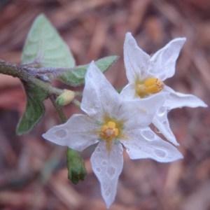 Solanum villosum Mill. subsp. villosum (Morelle poilue)