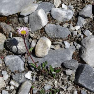 Photographie n°86213 du taxon Erigeron uniflorus L.