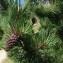 Jean-Luc Gorremans - Pinus uncinata Ramond ex DC.
