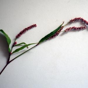 Photographie n°86270 du taxon Polygonum lapathifolium subsp. verum J.Schust.