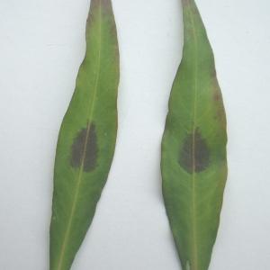 - Polygonum lapathifolium subsp. verum J.Schust.