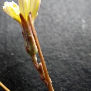 Lactuca saligna L. [1753] (Laitue à feuilles de saule)