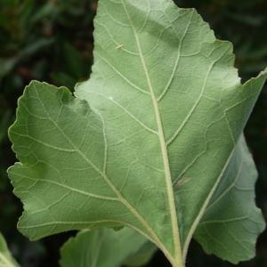 Photographie n°86297 du taxon Xanthium italicum Moretti