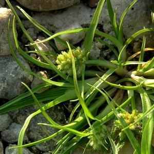 Photographie n°86301 du taxon Cyperus michelianus (L.) Link [1827]