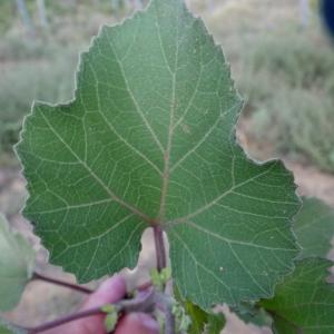 Xanthium strumarium L. (Glouteron)