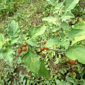 Photographie n°86455 du taxon Solanum villosum Mill.