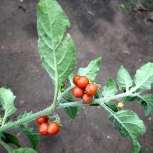 Photographie n°86457 du taxon Solanum villosum Mill.