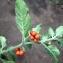 Liliane Roubaudi - Solanum villosum Mill.