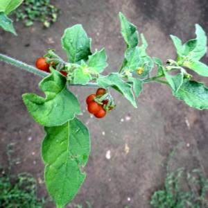 Photographie n°86458 du taxon Solanum villosum Mill.