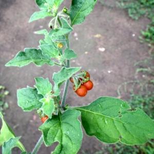 Photographie n°86459 du taxon Solanum villosum Mill.