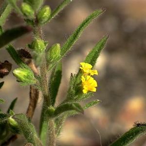 Dittrichia graveolens (L.) Greuter (Inule fétide)