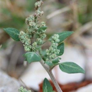 Chenopodium olidum Curtis (Chénopode fétide)