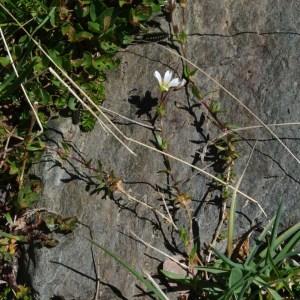 Photographie n°86575 du taxon Cerastium cerastoides (L.) Britton [1894]