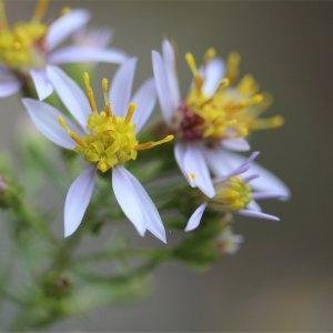 Galatella sedifolia (L.) Greuter [2003] (Aster à feuilles d'orpin)