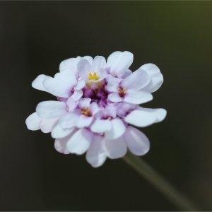 Iberis linifolia subsp. stricta (Jord.) Rouy & Foucaud (Ibéris à feuilles étroites)
