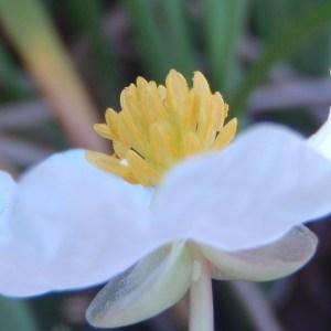 Photographie n°86610 du taxon Sagittaria latifolia Willd. [1805]