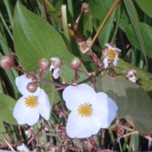 Photographie n°86612 du taxon Sagittaria latifolia Willd. [1805]