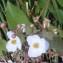 Genevieve Botti - Sagittaria latifolia Willd. [1805]