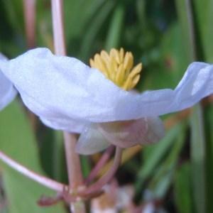Sagittaria latifolia Willd. [1805] (Sagittaire à larges feuilles)