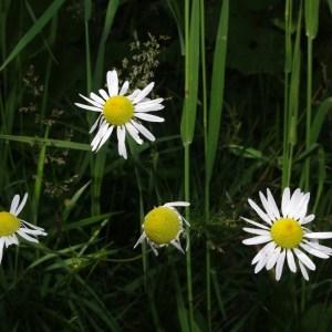 Photographie n°86669 du taxon Tripleurospermum inodorum (L.) Sch.Bip. [1844]