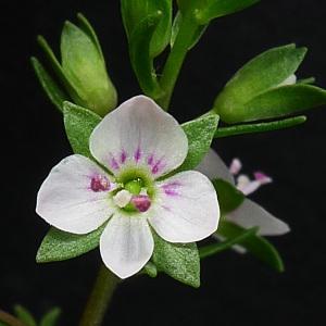 Veronica anagallis-aquatica L. (Mouron aquatique)