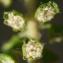 Liliane Roubaudi - Ambrosia artemisiifolia L.