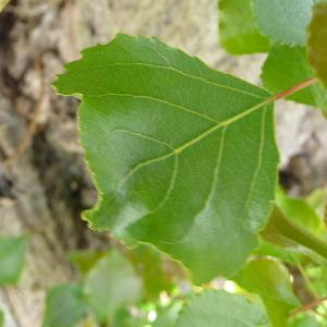 Photographie n°87686 du taxon Populus nigra L.