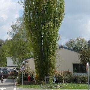 Photographie n°87687 du taxon Populus nigra L.
