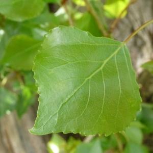 Photographie n°87689 du taxon Populus nigra L.