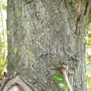 Photographie n°87690 du taxon Populus nigra L.