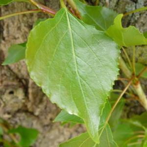 Photographie n°87691 du taxon Populus nigra L.