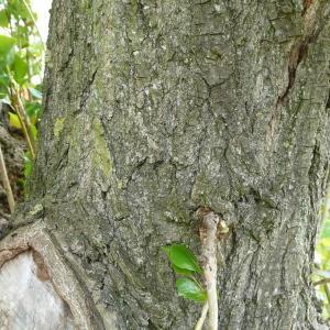 Photographie n°87696 du taxon Populus nigra L.