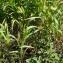 Liliane Roubaudi - Setaria viridis (L.) P.Beauv. [1812]