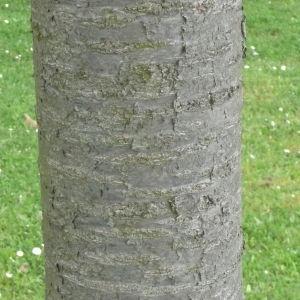 Photographie n°87722 du taxon Prunus avium (L.) L. [1755]