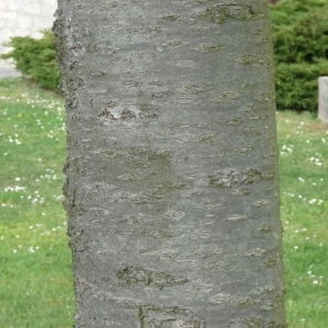 Photographie n°87723 du taxon Prunus avium (L.) L. [1755]