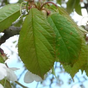 Photographie n°87724 du taxon Prunus avium (L.) L. [1755]