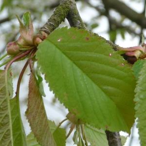 Photographie n°87725 du taxon Prunus avium (L.) L. [1755]