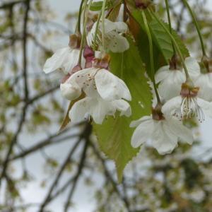 Photographie n°87732 du taxon Prunus avium (L.) L. [1755]
