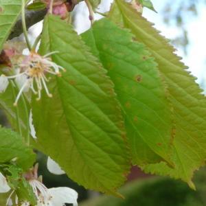Photographie n°87734 du taxon Prunus avium (L.) L. [1755]