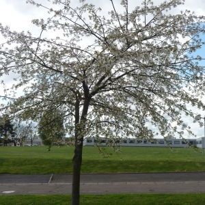 Photographie n°87737 du taxon Prunus avium (L.) L. [1755]
