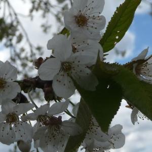 Photographie n°87739 du taxon Prunus avium (L.) L. [1755]