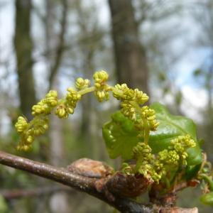 Photographie n°87743 du taxon Quercus robur L. [1753]