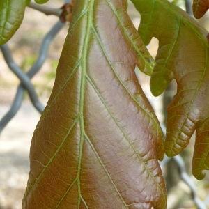 Photographie n°87753 du taxon Quercus robur L. [1753]