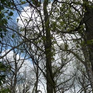 Photographie n°87755 du taxon Quercus robur L. [1753]