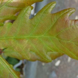 Photographie n°87756 du taxon Quercus robur L. [1753]