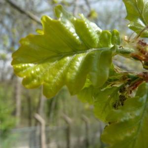 Photographie n°87759 du taxon Quercus robur L. [1753]