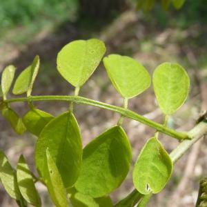 Photographie n°87767 du taxon Robinia pseudoacacia L.