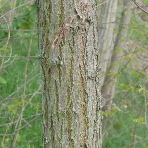 Photographie n°87768 du taxon Robinia pseudoacacia L.