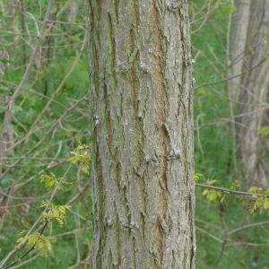 Photographie n°87778 du taxon Robinia pseudoacacia L.