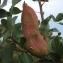 sylvie LORRAIN - Pistacia terebinthus L.